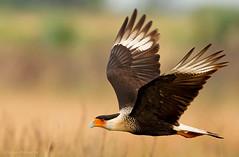 Northern Crested Caracara (Caracara cheriway), Caracara Norteño o crestado. (Sergio Bitran M) Tags: usa bird florida ave northamerica kissimmee rapaz 2013