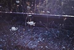 no looking back (SuzAnne Steben) Tags: flowers stilllife flower floral train landscape traintracks