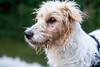 Fox Terrier Mix Porträt