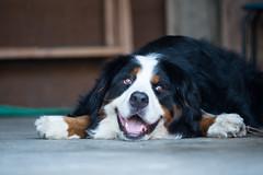 Super smile (Takashi(aes256)) Tags: dog smile bernesemountaindog 犬 笑顔 動物 animla スマイル miruku nikond4 バーニーズマウンテンドッグ みるく nikonaiafmicronikkor200mmf4difed