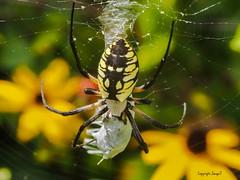 For Me? (Shannonsong) Tags: nature garden wildlife web arachnid meal prey predator blackeyedsusan eightlegs gardenspider argiopeaurantia spidersilk specanimal beneficialtogardens