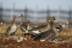 Greater White-fronted Geese (Blue Tale) Tags: geese north arctic greaterwhitefrontedgoose anseralbifrons bakerlake migratorybirds