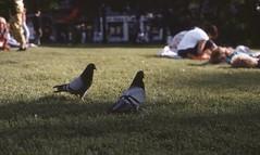 C O U P L E (guerrerodsr) Tags: shadow summer bird couple pigeon dove 35mmfilm gras date canonae1 filmphotography fd50mm118 colorfilm diasfilm kodakektachrom200