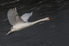 swan-2595