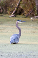 Great Blue Heron (gauravs82) Tags: blue lake fish bird heron water concentration wings fishing pond great flight feathers large waterfowl murky wading duckweed