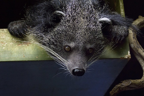Binturong by hehaden, on Flickr