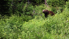 Grizzly Bear - Golden, Canada (The Web Ninja) Tags: bear travel sun mountain canada mountains green nature animal landscape rockies outdoors photography golden photo bc britishcolumbia rocky sunny explore grizzly