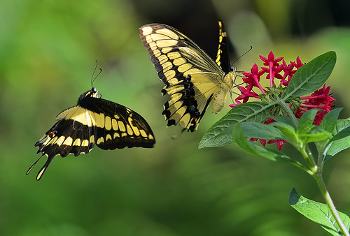 Thoas Butterflies in courtship display.