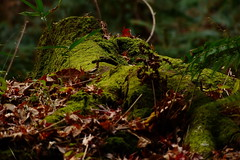 mossy stump. fz200 (harum.koh) Tags: fz200 moss
