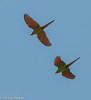 Chestnut-Fronted Macaw, Eco Amazonia Lodge (hogsas) Tags: bird peru birds macaw amazonian macaws chestnutfrontedmacaw arasevera araseverus peruvianimages peruvianbirds ecoamazonialodge ecoamazonianlodge