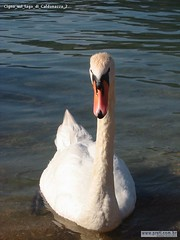 Cigno sul lago di Caldonazzo 2