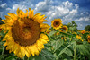 SOMETHING TO BRIGHTEN YOUR DAY :) (Lisa Plymell) Tags: flowers blue green nature yellow clouds sunflowers explored mygearandme mygearandmepremium mygearandmebronze mygearandmesilver mygearandmegold mygearandmeplatinum nikond5200