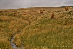 Moorland Cattle - Yorkshire Dales (Martyn (Northants/North East)) Tags: uk england english landscape stream cattle cows yorkshire moors moor grazing dales moorland