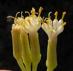 Oleanderblättrige Kleinie im Parque Botanico Corralejo, Fuerteventura, NGIDn172056730 (naturgucker.de) Tags: kleinianeriifolia naturguckerde cwolfgangkatz 1038097865 1062798284 426437582 oleanderblättrigekleinie ngidn172056730