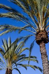 365.10   San Diego (mintyfreshflavor) Tags: california sky sandiego palmtrees 365