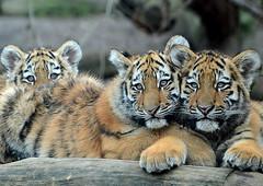 drei auf einen Streich (karinrogmann) Tags: tiger cubs tigre cuccioli kölnerzoo sibirischetiger jungtiere