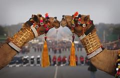 Kissing camels in India (Manish Swarup/AP)