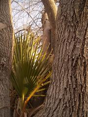 Palm in a Bough. (time_anchor) Tags: trees plants palms landscapes lasvegas palmtree piggyback partnership bough symbiosis commensalism parasitism uniquetrees symbioticrelationships palmparasite