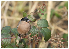 Bullfinch (f) (Pyrrhula pyrrhula) [Explored] (bojangles_1953) Tags: