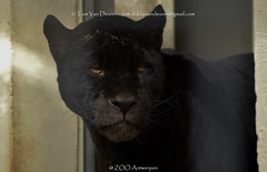 Jaguar - Panthera Onca (MrTDiddy) Tags: black female cat mammal zoo big kat feline bigcat antwerp jaguar zwart antwerpen zooantwerpen zwarte grote onca panthera vrouwelijk zoogdier grotekat