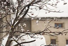 Blossom and Snow (Wrinzo) Tags: winter snow tree switzerland branches neve svizzera albero inverno rami maloja graubunden sorbusaucuparia sorbo grigioni salecina sorbodegliuccellatori engidin