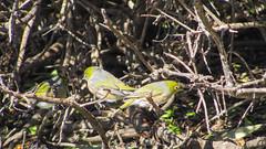 Grün-Kopf Vögel