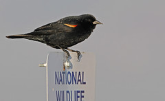 Red-winged Blackbird (fred h) Tags: bearriver522012076 redwingedblackbird