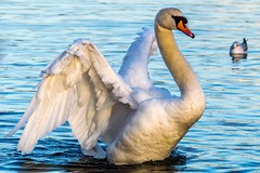 Swan at Fairburn Ings (jasonmgabriel) Tags: lake bird water swan wings wildlife fairburn ings