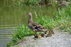Female Mallard and Family (Neal D) Tags: bird female duck bc duckling mallard langley anasplatyrhynchos brydonpark