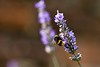 MoodCard_Set1-35 (what_u_see_is not_what_u_get) Tags: garden outdoors flickr colours purple bees lavender insects places moocard frommobileme
