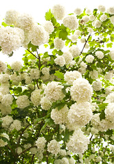 pom poms-5243547 (E.........'s Diary) Tags: camera plant flower digital garden ross may olympus eddie compact 2014 xz1 newburgeddierossolympusxz1compactdigitalcameramay2014newburghfifescotlandspring