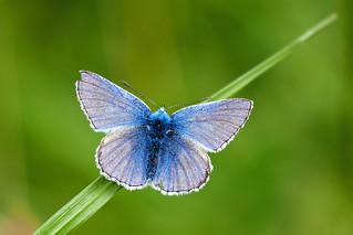 Common Blue...