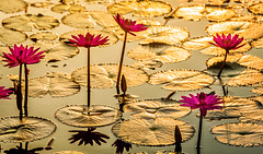 Golden lake (Santo(Thanks for 1.5 Million++views!!)) Tags: morning original lake reflection nature water sunrise lights golden lily natural