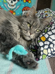 Naptime Breeze, 11 Jul 14 (Castaway in Scotland) Tags: blue pet cute animal cat silver grey scotland tabby gray maine adorable kitty east coon lothian musselburgh