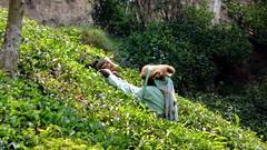 India - Kerala - Munnar - Tea Harvest - 111 (asienman) Tags: india mountains kerala hills teafactory teaplantation munnar teapicker asienmanphotography teaplantagens