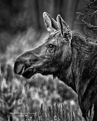 Moose Cow In Black & White, Jackson Hole Wyoming (Hawg Wild Photography) Tags: moose wildlife nature animal animals jacksonholewyoming grand teton tetons national park terrygreen nikon d810 nikon600mmvr hawg wild photography