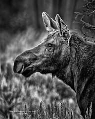 Moose Cow In Black & White, Jackson Hole Wyoming (Hawg Wild Photography) Tags: moose wildlife nature animal animals jacksonholewyoming grand teton tetons national park terrygreen nikon d810 nikon600mmvr hawg wild photography