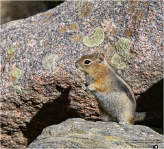 Golden-Mantled Ground Squirrel (Tom Wildoner) Tags: tomwildoner rmnp rockymountainnationalpark national park colorado co september 2016 goldenmantled ground squirrel plague rocks brown animal hiking canon canon6d outdoors nature environment