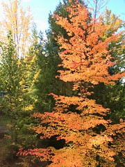 leaves on fire (Lady Goshen) Tags: autumn foliage color leaves harvest fall tree tres gold yellow orange red