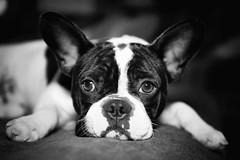 (Enrico Sanavio) Tags: wwwenricosanavioit sanavio benito bouledogue bulldog bn bw nikon nikkor dog nature