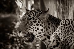Jaguar in sunlight (Saarblitz) Tags: jaguar katzen sonnenlicht schwarz weiss outdoor tier schrfentiefe einfarbig fleischfresser zoo saarbrcken