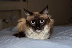 Luna (ctmartinez79) Tags: cat gato luna animal home beautifull
