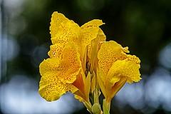 Late Bloomer (brev99) Tags: nikviveza perfecteffects10 ononesoftware tamron180f35 d7100 iris flower bokeh