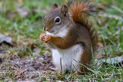 Red Squirrel (John Caravella) Tags: october nikon 14x backyard 150600 d500 wisconsin sigmasport bird redsquirrel 2016 bayside unitedstates us