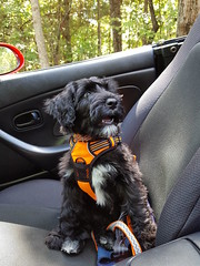 WTH? (crisp4dogs) Tags: gabby pwd portuguesewaterdog puppy ride crisp4dogs