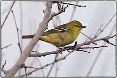 Pine Warbler (RKop) Tags: a77mk2 70400gssmsony armlederpark cincinnati raphaelkopanphotography ohio sony warblers warbler