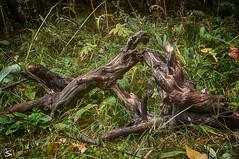 Kampf der Wurzeln (sirona27) Tags: wald wurzeln baum stamm abgestorben figuren