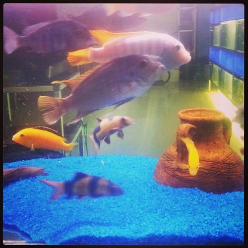 Acquario tropicale #pescitropicali #ciclidiafricani #fish #acquario #aquarium #pesci