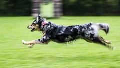 Flying dog (photalena) Tags: australianshepherd pet running dog