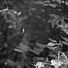 Toile/Web (bob august) Tags: 2016 aperture3 araigneìe arbres arrondissementahuntsic automne autumn bw blackwhite canada d90 fall feuilles leafs manualmode modemanuel nikkor18300mm nikon nikond90 noiretblanc septembre slowphotography spider squareformat toile trees web montréal formatcarré ©2016rpd'aoust
